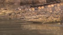 Nile Crocodiles 10