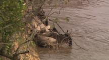 Wildebeests In The Water Along River's Edge