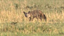 Jackal Walking And Marking Territory