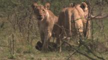 Lions Feeding On Wildebeest