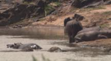 Hippos Gather At Water's Edge, Pan To Wildebeest Carcasses