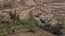 Crocodile By River, Tail To Head Pan