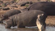 Hippos Enter River