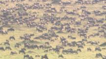 Large Herd Of Wildebeests