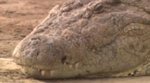 Crocodile, Close-Up Pan From Tail To Face