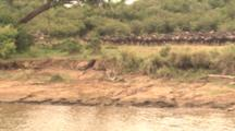 Herd Of Wildebeest At River's Edge