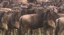 Wildebeest Herd Close-Up