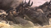 Wildebeest Herd Crossing River