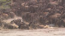 Wildebeest Herd Enter River, Swim Among Hippos