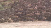 Wildebeest Herd Crosses River