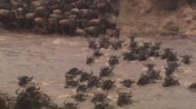 Wildebeest Herd Enters River, Swims, Front View