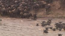 Wildebeest Herd Plunges Into River, Front View, Pans Wide