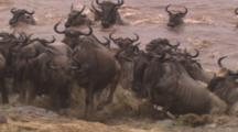 Wildebeest Herd Entering And Exiting River, Swimming Across