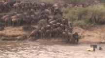 Wildebeest Herd Entering River