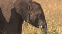 Close-Up Of Elephant Mother And Calf Walking And Grazing