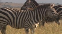 Small Herd Of Zebras, Focus On Single Male