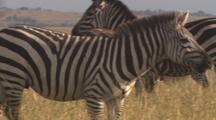 Small Herd Of Zebras, Focus On Single Male