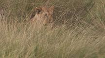 Lions Resting In Grass