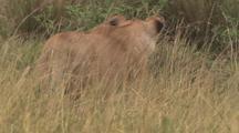 Lions Walking Through Grass
