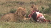 Male Lions With Kill