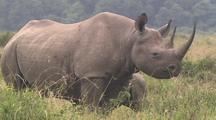 Rhinoceros Video Stock Footage