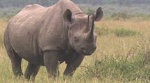 Rhino Resting