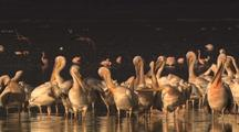 Flock Of White Pelicans On Lake