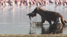 Hyena Wades Through Lake, Carries Then Feeds On Dead Flamingo