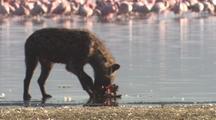Hyena Feeds On Dead Flamingo, Flock In Background