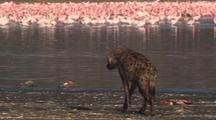 Hyena Feeds On Dead Flamingos, Flock In Background