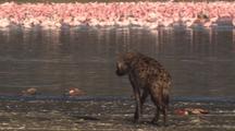 Hyena Feeds On Dead Flamingos, Flock In Background