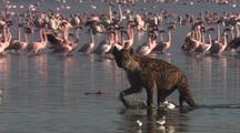 Hyena Searches For Dead Flamingos, Flock In Background