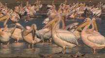Close-Up Of White Pelican Flock