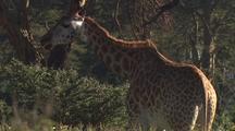 Giraffe Browsing