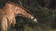 Giraffe Browsing Close-Up