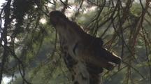 Giraffe Browsing Close-Up, Pan Up And Down Body