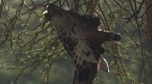 Giraffe Browsing Close-Up, Pan From Body To Head