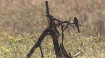 White-Fronted Bee Eater On Branch