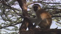 Vervet Monkey In Tree