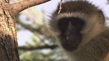 Vervet Monkey Close-Up
