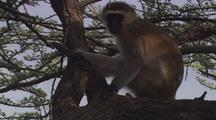 Vervet Monkey Pan From Tail To Head
