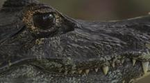Spectacled Caiman, Close-Up Of Head, Pan Nose To Eyes