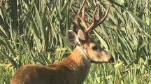 Marsh Deer Buck In Tall Grass