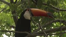 Toco Toucan In Tree With Prey In Mouth
