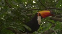 Toco Toucan With Prey In Mouth Hops In Tree, Pan To Second Bird