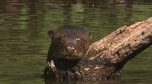 Giant River Otter In River, Stands Up On Log