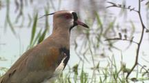 Southern Lapwing Wades, Forages