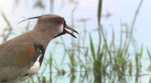 Southern Lapwing Wades, Forages, Close-Up Of Legs