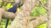 Hyacinth Macaw In Tree