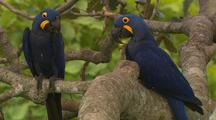 Hyacinth Macaw Pair In Tree, Rubs Beak On Branch